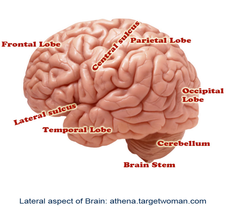 Lateral Aspect of Brain